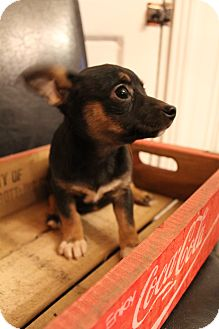 Chihuahua/Terrier (Unknown Type, Small) Mix Puppy for adoption in Bedminster, New Jersey - Tia