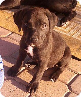 Labrador Retriever Mix Puppy for adoption in Phoenix, Arizona - Zues