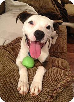 American Bulldog Mix Dog for adoption in Snellville, Georgia - Baby Girl
