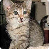 Adopt A Pet :: Pebbles - Cincinnati, OH