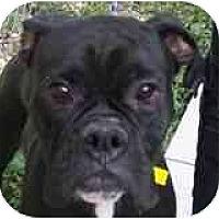 Adopt A Pet :: Constantine - Sunderland, MA