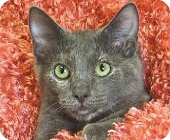 Domestic Shorthair Cat for adoption in Renfrew, Pennsylvania - Louise