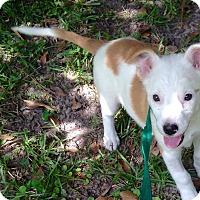 Adopt A Pet :: Piper - Gainesville, FL
