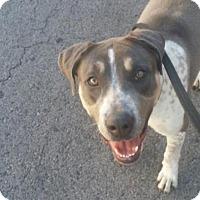Adopt A Pet :: Neva - Vernon Hills, IL