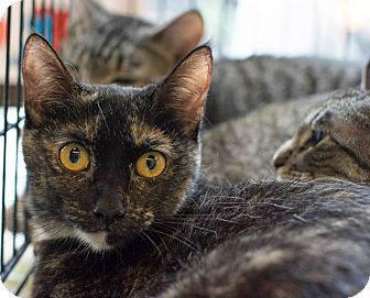 Domestic Shorthair Cat for adoption in New York, New York - Amber
