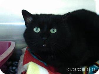 Domestic Shorthair Cat for adoption in Renfrew, Pennsylvania - Gavin