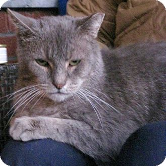 Domestic Shorthair Cat for adoption in Toronto, Ontario - Gandalf