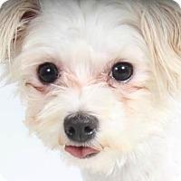 Adopt A Pet :: Oakley - Colorado Springs, CO