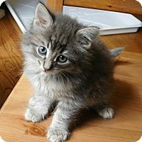 Adopt A Pet :: Benz - Davis, CA