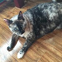 Adopt A Pet :: Cinnabar - Austin, TX