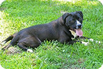 Bulldog/Labrador Retriever Mix Dog for adoption in Plainfield, Connecticut - Camaro