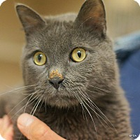 Domestic Shorthair Cat for adoption in East Hartford, Connecticut - King
