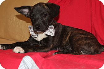 Shepherd (Unknown Type)/Labrador Retriever Mix Puppy for adoption in Trenton, New Jersey - Basil (has been adopted)