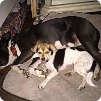 Adopt A Pet :: Cinderella - Yorba Linda, CA