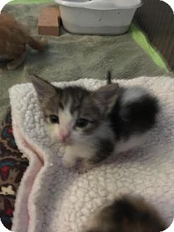 Domestic Shorthair Kitten for adoption in Westminster, California - Pete