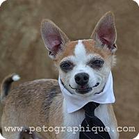 Adopt A Pet :: Bogart - Las Vegas, NV