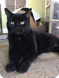 Domestic Shorthair Cat for adoption in Breinigsville, Pennsylvania - Dracco