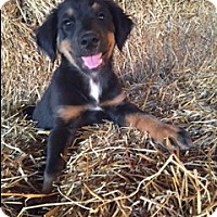 Adopt A Pet :: Harper - Hamburg, PA