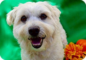 Maltese/Wheaten Terrier Mix Dog for adoption in Irvine, California - Buckley