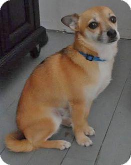 Chihuahua/Pomeranian Mix Dog for adoption in Snohomish, Washington - Hooper, happy & hopeful!