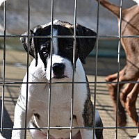 Adopt A Pet :: Boss - Springfield, VA