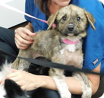 German Shepherd Dog Mix Puppy for adoption in Palm Harbor, Florida - Jade