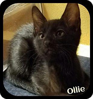Domestic Shorthair Kitten for adoption in Orlando, Florida - Ollie (SLK/LB) 8.21.16