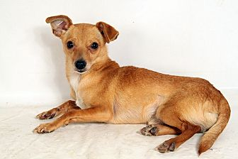 Chihuahua Mix Dog for adoption in St. Louis, Missouri - Gizmo Chi