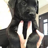 Adopt A Pet :: Cressida - Houston, TX