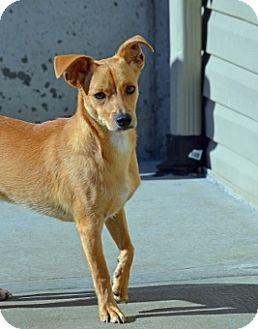Dachshund/Terrier (Unknown Type, Medium) Mix Puppy for adoption in Kansas City, Missouri - John