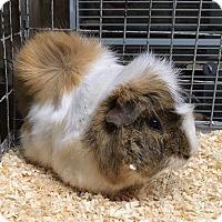 Adopt A Pet :: Nio - Hammond, IN
