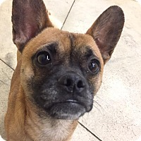 Adopt A Pet :: Milo - SHELBY TWP, MI