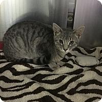 Adopt A Pet :: Michelangelo - Richboro, PA