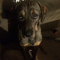 Adopt A Pet :: Remington - Springfield, MO