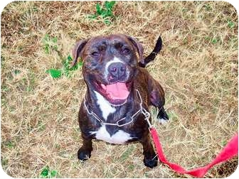 American Pit Bull Terrier Mix Dog for adoption in Jersey City, New Jersey - Duchess