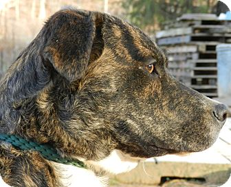Mountain Cur Mix Dog for adoption in Centerville, Tennessee - Princess
