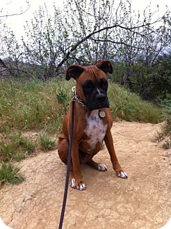 Boxer Dog for adoption in Santa Monica, California - Hopper