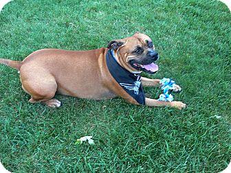 Zeus Adopted Dog Oak Creek Wi Bullmastiff American