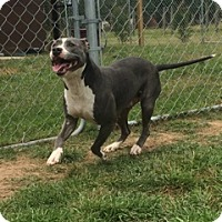 Adopt A Pet :: Blue - Houston, TX