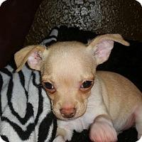 Adopt A Pet :: Blizzard - Parker, CO