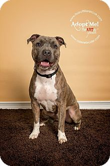 Pit Bull Terrier Dog for adoption in West Grove, Pennsylvania - Seven