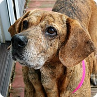 Adopt A Pet :: Presley - North Olmsted, OH