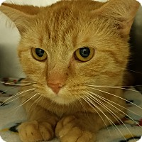 Domestic Shorthair Cat for adoption in Muskegon, Michigan - Tiger