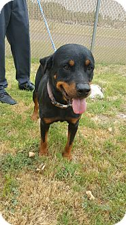 Rottweiler Mix Dog for adoption in Laredo, Texas - Cookie
