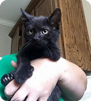 Domestic Shorthair Kitten for adoption in Clifton, Texas - Kaipo