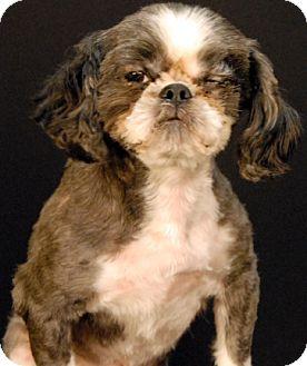 Shih Tzu Dog for adoption in Newland, North Carolina - Indiana
