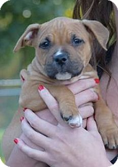 American Staffordshire Terrier Mix Puppy for adoption in Grand Rapids, Michigan - Hermoine
