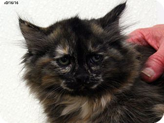 Domestic Mediumhair Kitten for adoption in Republic, Washington - Mauve