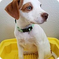 Adopt A Pet :: Ritzy - Denver, CO