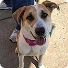 Adopt A Pet :: Callie